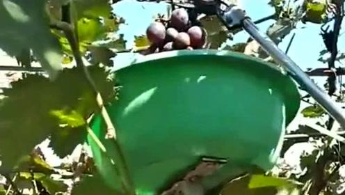 果农的智慧是无限的,防止葡萄架下来的好方法,真会想办法!