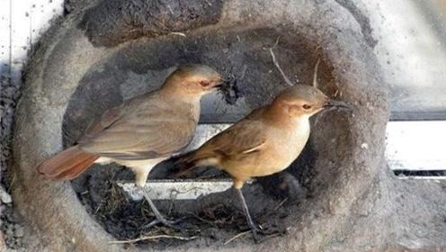 """充满智慧的鸟,其巢穴堪称艺术,被誉为鸟界""""面包师""""!"""