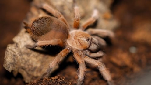 世界上最大的蜘蛛,最后一只竟然有房子大小,看着都吓人啊!