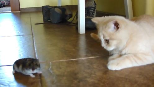 主人买了只小仓鼠陪伴猫咪,过了一小时后,主人:你能把鼠还我吗