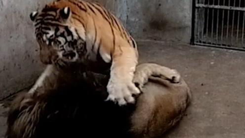 动物园发生了狮虎斗,败者被扇30多巴掌,以后不用再争论了!