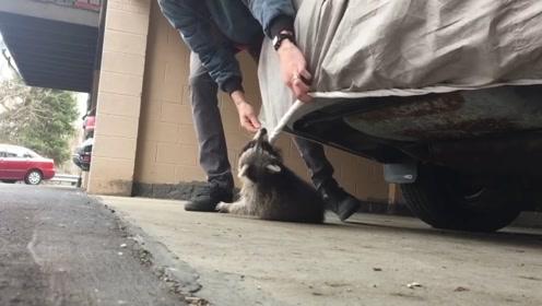 解救干脆面行动:小浣熊和主人玩捉迷藏,不幸被汽车保护罩勒住