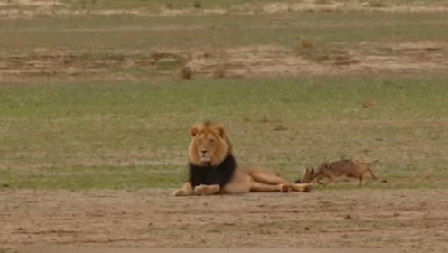 熟睡的雄狮被胡狼咬住尾巴,刚睡醒的狮子一点脾气都没有