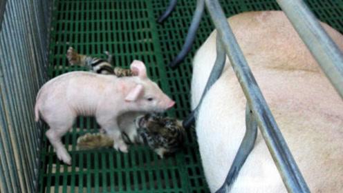 小老虎从小被母猪喂养大,老虎长大后,对待母猪的方式令人很着急