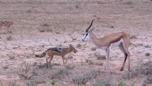 胡狼利用战术偷袭瞪羚,最后慢慢的折磨死它,简直是太残忍了