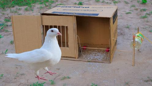 男孩野外巧用纸板捕鸽子,镜头记录全过程,看完不敢相信!
