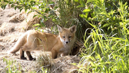 """为什么狐狸总喜欢在死人墓穴里做窝?难道是要""""修炼成精""""吗?"""