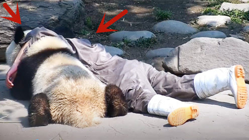 奶爸跟熊猫勾肩搭背地趴在地上,真让人嫉妒,镜头记录搞笑画面