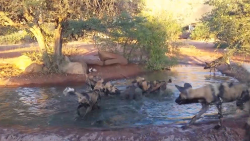 """疣猪正在水里洗澡,突然被一大群野狗""""光顾"""",这下可遭殃了!"""