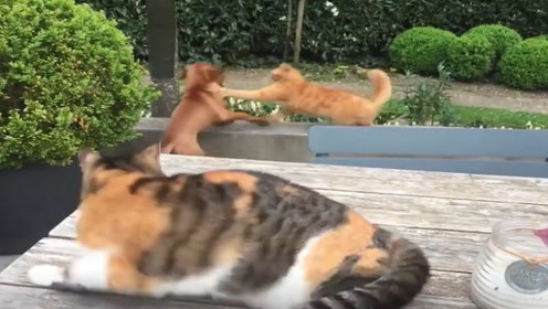 猫咪看到自家狗狗被打,气势汹汹立马去干架,镜头记录搞笑一幕