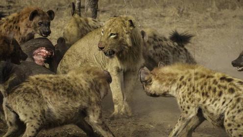 """意外一幕!非洲最不起眼的食肉动物""""鬣狗"""",狮子见了退避三舍"""