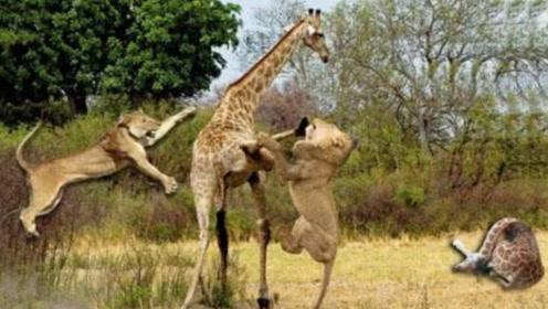 长颈鹿发飙有多恐怖,直接把10头狮子踢飞,狮群被吓四散而逃