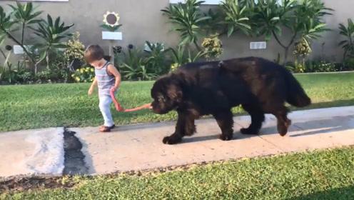 小主人牵着大型犬出去遛弯,感觉画风不对:确定不是狗狗在遛人