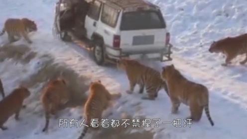 被东北虎包围的车,司机竟主动打开车门,成功自救!