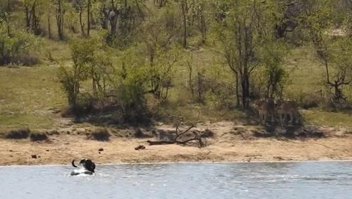 刚摆脱狮子的追捕又入虎口,死里逃生的野牛,竟主动讨伐狮子