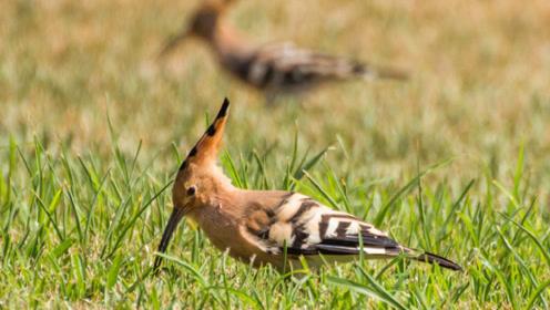 最帅气的小鸟,在我国广泛分布,却成了以色列的国鸟!