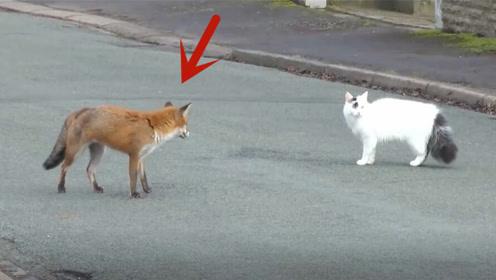 狐狸捕捉猫,下一秒就尴尬了,猫咪:老虎是我徒弟,你算哪根葱?