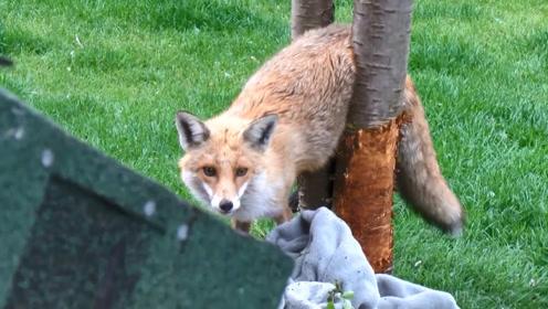 狐狸翻墙偷鸡,不料却被卡在了树杈上,这画面太搞笑了