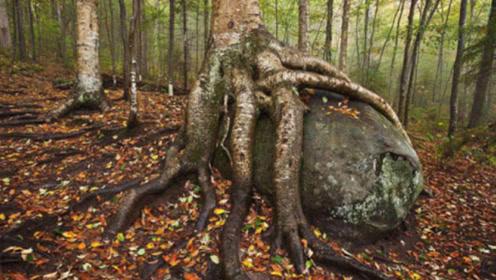 """世界上最硬的木材,被称为""""树王"""",硬度比钢铁还强一倍,或能生扛子弹?"""