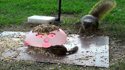 坚果放装满水的气球上,松鼠吃得正欢突然爆炸,这是人干的事吗?