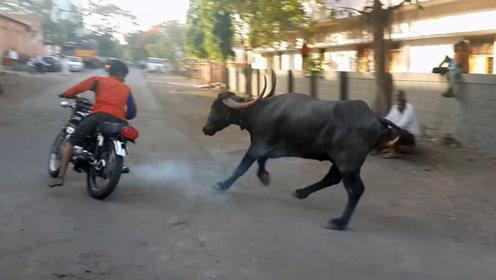 男子惹祸了,激怒公牛狂追摩托车,看到最后不淡定了
