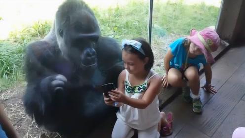 小女孩教黑猩猩玩手机,结果下一秒,场面彻底失去了控制