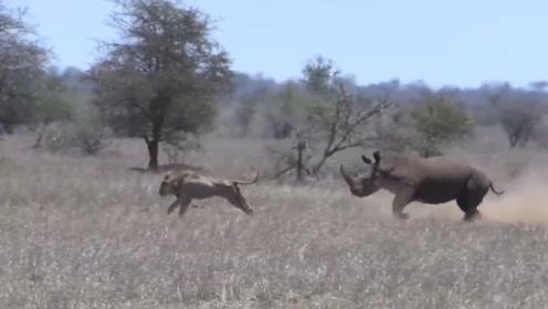 犀牛的战斗力到底有多强?面对两只流浪狮王的攻击,还能全身而退