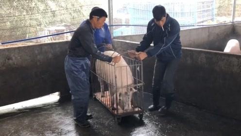 中国猪肉从15涨到30,用时2个月!未来何时下跌,专家给出答案