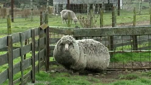 澳网红绵羊去世 曾一次性剃下40.45公斤羊毛