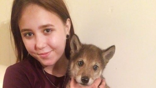 俄罗斯父女俩养小狼当宠物 顽皮得像狗一样