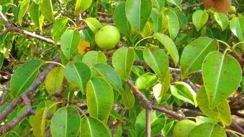 最毒的植物,树叶和树干都碰不得,甚至连靠近都不行!