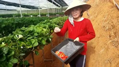 改良的草莓品种,个头和颜色就是不一样,看着都很甜