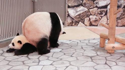 谁说熊猫妈妈不会带孩子的?你看,这不照顾得挺好的嘛!