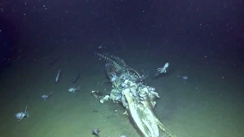 """研究员拍罕见""""鲸落"""" 鲸鱼死后可供养海底生物生存上百年"""