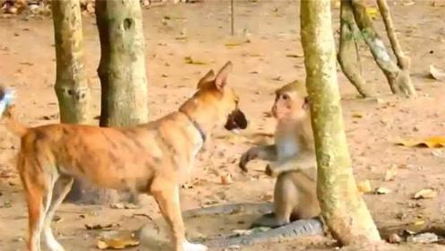 主人:为什么揍我家狗?!猴子一脸委屈:它扒拉我