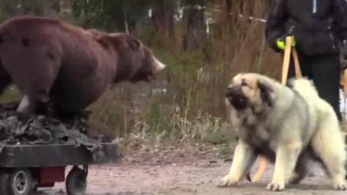 狗子散步遇到黑熊,豁出命去保护主人,最后的举动太感人