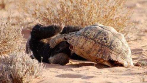 """乌龟想找地方产卵,没想到碰到了""""平头哥"""",结果身体被掏空"""