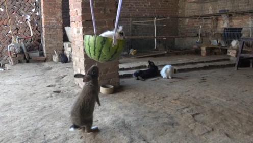 主人做了个西瓜床,可小灰兔就是上不去,最后它的动作绝了!