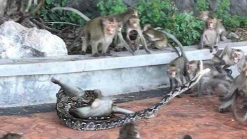 泰国一只猴子被蟒蛇勒死 猴群围观爱莫能助