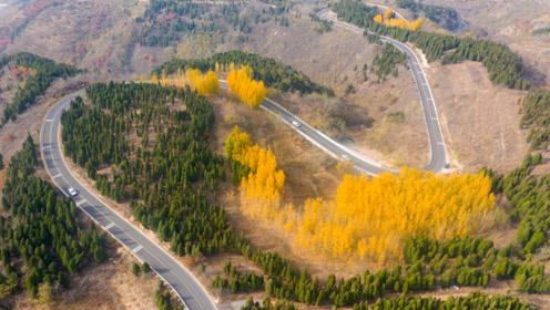 无人机航拍济南七星台盘山路,蜿蜒曲折如蛟龙,路旁有片金色树林
