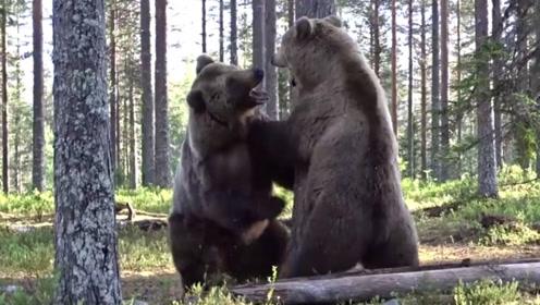 两只棕熊争夺地盘,其中一只难以反抗,最终选择将领地拱手相让