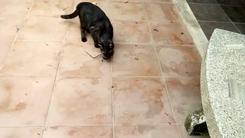 快狠准!黑猫锁定老鼠之后,快速出击,一招秒杀!叼给铲屎官看