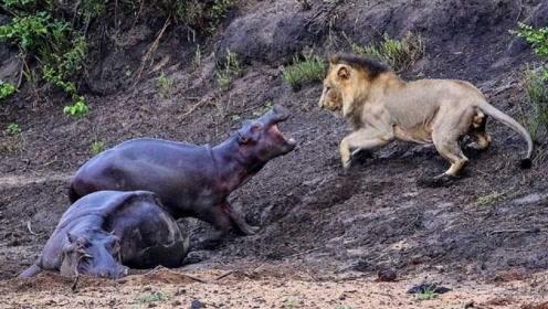 小河马为了守护受伤的妈妈,和雄狮展开大战,场面太感人了