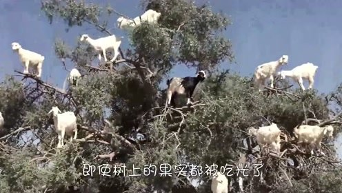 这群山羊是成精了?都能爬到树顶上,打破了那句俗语