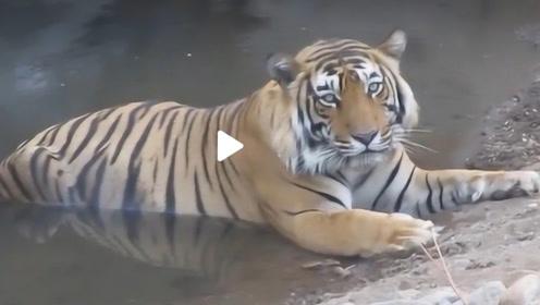 虎王下山洗澡,被它的眼神锁定后,掉头就跑还来得及