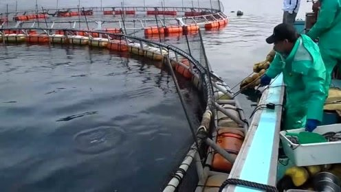 日本金枪鱼养殖户的钓鱼操作