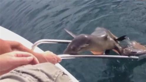 搭顺风船的海狮好瘦,不知道游了多远!