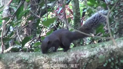 """四川林区的这个""""魔王"""",其实是软萌的小动物,可是当地人要抓捕它"""