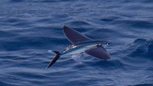"""世界上会""""飞""""的鱼,为了躲避天敌飞到空中,不料馋哭了中国吃货"""