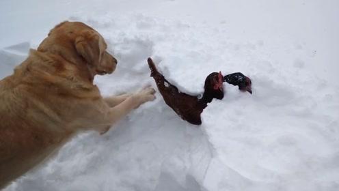 """不愧是""""狗届大暖汪"""",看到鸡被大雪埋了,爪子直接上手了"""